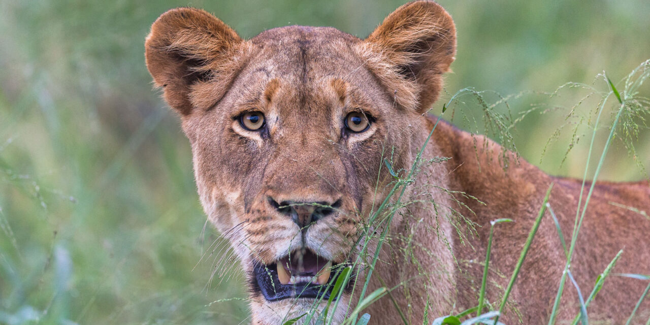 Lions in the morning – Zimanga