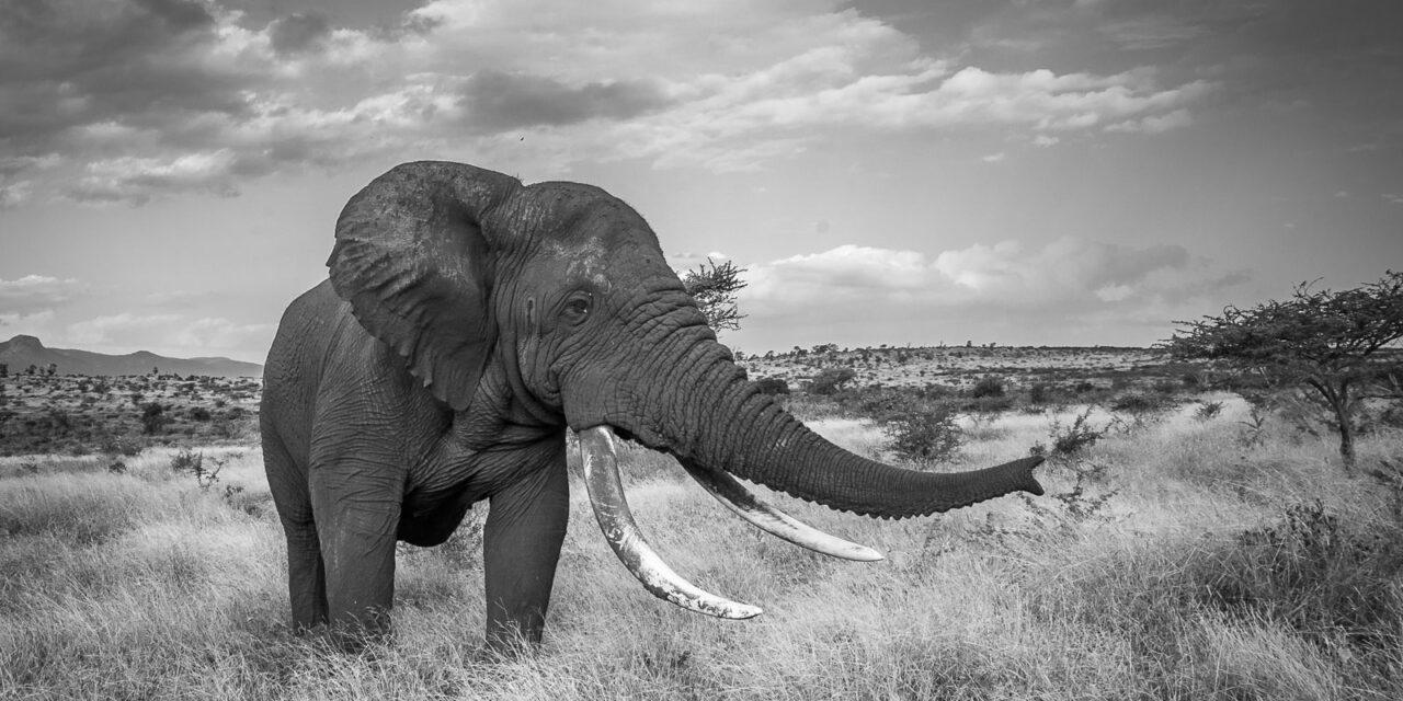 Elephants – Zimanga