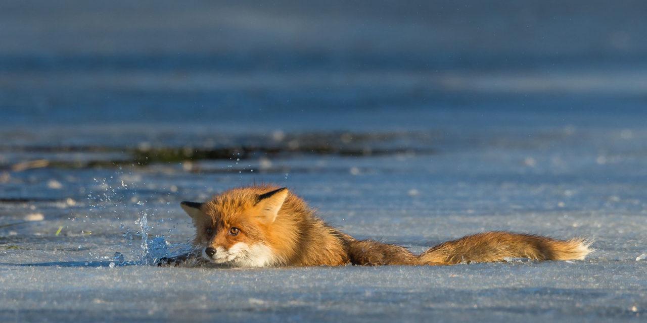 Räven ramlar genom isen