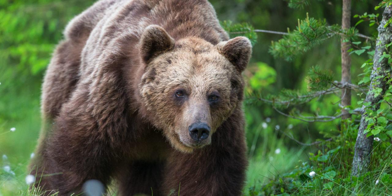 Vilda björnar i Hälsingland